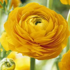 "Ranunculus 'Yellow' - Sunny yellow flowers on long stems are perfect for cutting. Height 12"". Zones 8-11"