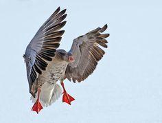 Flugfoto Gans Graugans Vogel Wasservögel Wildlife winter