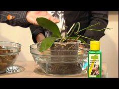So gedeihen Orchideen prächtig - ZDF Volle Kanne