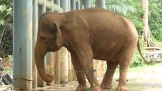 Another stereotypic behavior of a zoo animal. This elephant is weaving-repetitively switching his weight back and forth.
