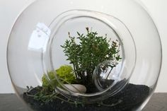 Top ten plants for terraniums    http://www.gardenwiseonline.ca/gw/blogs/rhizome/2011/02/15/top-terrarium-plant-picks