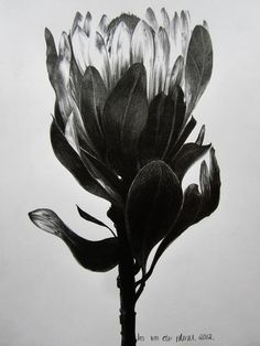 "Saatchi Online Artist Ira van der Merwe ""Protea Study V"" Botanical Drawings, Botanical Art, Botanical Illustration, Illustration Art, Protea Art, Protea Flower, Black And White Abstract, Ink Illustrations, Watercolor Art"