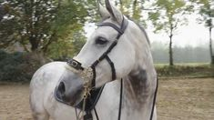 Hackamore bridle with gold flower wheel and brown leather nose straps and fur nose band for extra comfort. The bridle has a broad head piece for extra comfor. Beautiful Horse Pictures, Beautiful Horses, Bay Horse, Horse Tack, Riding Horses, Gold Flowers, Brow, Pony, Etsy Shop
