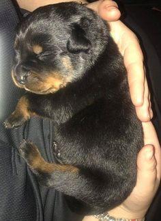 Rottweiler puppy ~ 10 days old #rottweilerpuppy