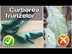 Curbarea frunzelor la tomate și virusul răsucirii frunzelor - YouTube Planting, Gardening, Solar, Home And Garden, Youtube, Plants, Lawn And Garden, Youtubers, Youtube Movies