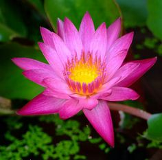 thailand lotus pinterest flowers dry creek bed and exotic flowers. Black Bedroom Furniture Sets. Home Design Ideas