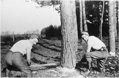 Lumber Jills Jean Macnaughton (left) and Cathie Brow, using a crosscut saw in Angus 1942-45.