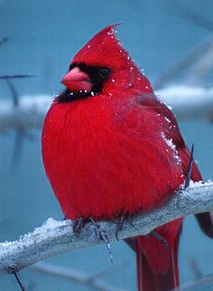 Bright red male cardinal in winter