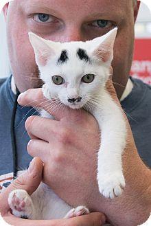 New York, NY - Domestic Shorthair. Meet Hikaru, a cat for adoption. http://www.adoptapet.com/pet/16027007-new-york-new-york-cat