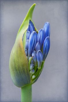 blue Agapanthus - blue lily of the Nile in spring