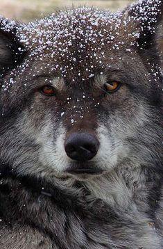 Evil Wolf Face evil wolves | C...