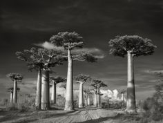 """Avenue of the Baobabs taken in Morondava, Madagascar in 2006: Only found in Madagascar, these trees rise to nearly 100 ft (30 m) and are about 800 years old. They're also a great source of food, fiber, dye, rope, and fuel and appropriately known as renala, meaning """"mother of the forest"""" in Malagasy."""