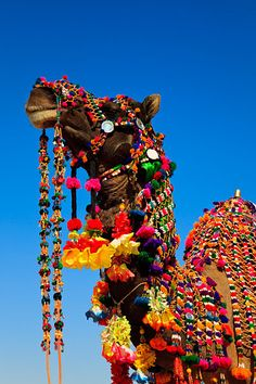 Colourfully decorated camels during the annual Jaisalmer Desert Festival