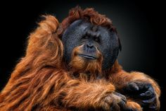"""Nat Geo Wild France #PhotoduJour Un orang-outan mâle plonge son regard dans l'objectif. Les joues des orangs-outans mâles sont une sorte d'excroissance en forme de demi-lune appelée """"disque facial"""", qui les rendent désirables aux yeux des femelles.   Photo : ©Pedro Jarque Krebs, National Geographic Your Shot"""