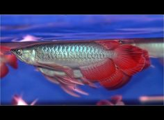 produce and provide the best quality red arowana Cichlid Fish, Cichlids, Betta Fish Types, Dragon Fish, Monster Fishing, Beautiful Fish, Bugs And Insects, Snails, Aquariums