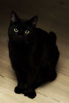 Love me some black kitty.I used to have three black kitties who were all siblings. I miss them soooooo much! Pretty Cats, Beautiful Cats, Animals Beautiful, Cute Animals, Pretty Kitty, Simply Beautiful, Crazy Cat Lady, Crazy Cats, I Love Cats