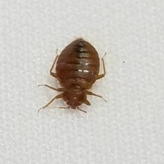 Bed Bug Photos Bed bugs are challenging to identify mainly because they hide so… Bed Bugs Pictures, Termite Pest Control, Bed Bug Control, Bed Bug Bites, Photos, Pictures