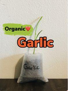 Growing Plants Indoors, Herbs Indoors, Growing Herbs, Black Bean Plant, Herb Garden, Vegetable Garden, Okra Plant, Buy Plants Online, Organic Garlic