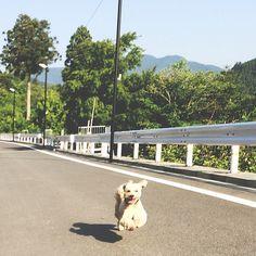 Le31, mai, 2014, samedi フライング・ソラ!!  Fling Sora!! He is super-dog!!  Have a good week-end!  #dog #animal #flingdog