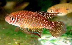 Simpsonichthys punctulatus «Formosa, Rio Bezerra» F3.jpg (580×362)