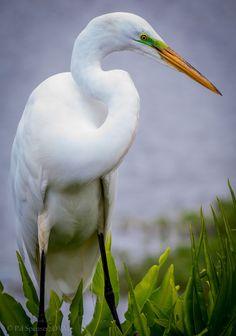Great egret  in breeding plumage| Flickr - @ Ed Spenser