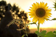 Sunflower, Sun, Summer, Yellow