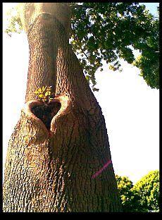 Tree with Heart--легенда о дереве
