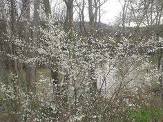 Árbol en flor. Marzo 2013