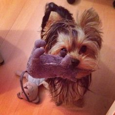 Did you know that Yorkies were bred in Yorkshire England to catch Rats in clothing mills?