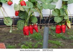 Petahia, Israel. March 2016. Ripe strawberries grown in hydroponic beds are an object of agricultural tourism in Israel.