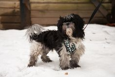 """- Shih Tzu Mix- 2 years Old- Neutered Male- """"Frisky Fellow""""Meet Lurch, a frisky fellow who can not wait to find his new forever home. He would like experienced owners who are able to help build up his confidence and treat him like the special dog he..."""