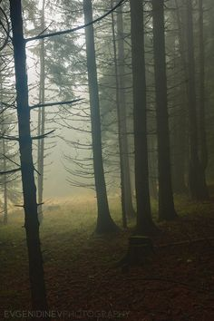 Murky forest, Rhodope Mountains, Bulgaria