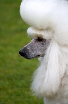 Poodle Coiffure