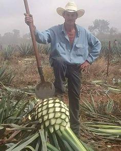 1 de los mejores Jimadores de la región Altos de Jalisco #Jimador#agave#mezcal#tequila#tequileros#altosdejalisco#sanjosedegracia#ramirodelgado#tequileros#puroJalisco#plantademezcal#planta by antoniopjr March 16 2016 at 08:37PM