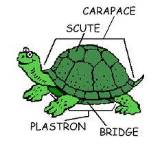 5ec82365a06bab7f53af6f36bff96bcd turtle shells a turtle 79 best i like turtles images on pinterest in 2018 sea turtles
