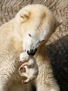 Newborn Baby Polar Bear | Flickr - Photo Sharing!
