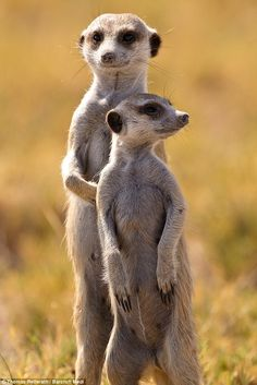 meerkat | The adult meerkat seems to be telling his son 'One day all this will ...