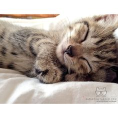 """From @annaawhitbread: """"This is little Oliver, he's 6 weeks old and loves to take catnaps!"""" #catsofinstagram [catsofinstagram.com]"""