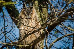 Romanian Owl in Prahova County near Ploiesti city. @ andrei raceala