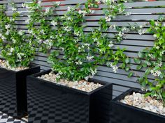 Plantas para jardines pequeños: jazmin