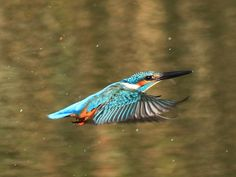 Backyard Birds, Kingfisher, Birds In Flight, Natural Beauty, Animals, Animales, Flying Birds, Animaux, Common Kingfisher