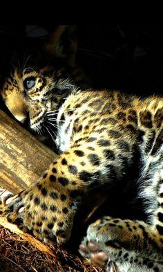Beautiful! Baby Jaguar