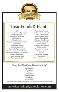 Toxic Foods and Plants for Pigs - American Mini Pig Association Mini Potbelly Pigs, Potbelly Pig Care, Mini Pig Food, Pot Belly Pigs, Pot Belly Pig Food, Juliana Pigs, Micro Mini Pig, Kune Kune Pigs, Pig Facts