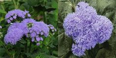 Ageratum-- 'Everest Blue' (above left, click to enlarge), new from Holland, is perhaps a fraction taller, reaching 20-26in/50-65cm in height and continues to produce new colour all through the summer.    'High Tide Blue' (above right, click to enlarge), new from across the Atlantic, is a very productive variety reaching 20-24in/50-60cm in height and is very well branched.
