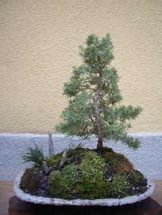 Rosemary like a fir tree