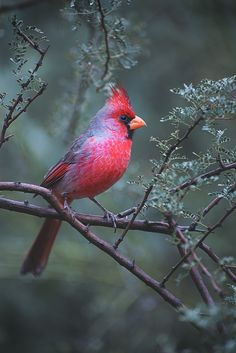 Cardinal by Gina Hamm on 500px