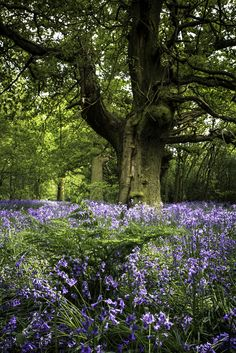 Bluebell wood in Beverley, Yorkshire, England by Sarich10