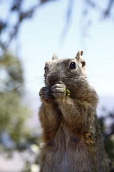The rock squirrel - South Rim of Grand Canyon, AZ