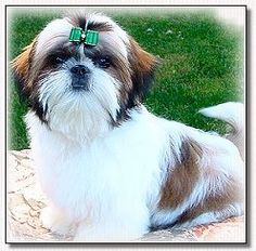 Grooming Your Shih Tzu by Doggie Bow Ties