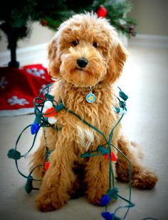 goldendoodle cheer! Faithful Doodles Lulu